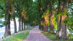 Alle tapisse de fleurs roses (Ath Salem) Tags: amoureux rose alle arbre liege belgium belgie fleurs belgique luik promenade quai ourthe fragne belle ile
