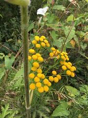 Tansy, Tanacetum vulgare, Ashford, Kent. (beforeyoureyes) Tags: tansy tanacetumvulgare ashford kent