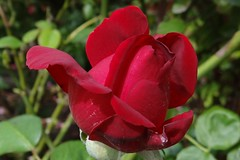 Rose (Gartenzauber) Tags: rose rot natur sony alittlebeauty coth coth5