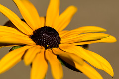 Macro du jour - 22/08/2016 (oudjat45) Tags: macro closeup nikond750 fleur flower blumen jaune yellow