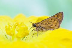 skipper (EdgarJi) Tags: macro 6d nature bug insect skipper butterfly yellow