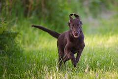Flatcoat Zazou running ... (Alex Verweij) Tags: flatcoat running retreiver dog hond rennen playing spelen zazou