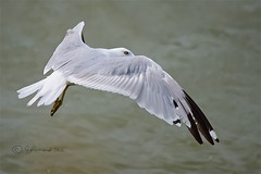 Ring-Billed Gull In The Wind (Jeannot7) Tags: gull ringbilledgull lucaspointpark cobourg ontario lakeontario water lake bird larusdelawarensis