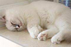 Canon_20160827027 (Snowy Olaf) Tags: kitten britishlonghair       feliscatus   canon eos400d ef50mmcompactmacro f25