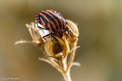 Striped shield bug (Raúl_M_M) Tags: striped shield bug chinche rayado