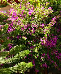 bougainvillea in the yard 8-16 (nolehace) Tags: summer nolehace flower bloom plant sanfrancisco fz1000 bougainvillea yard 816