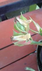 Euphorbia bracteata Jacq. Euphorbiaceae-Little Bird Plant ต้นนกน้อย