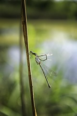 Dragonflies....