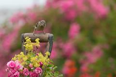 A Pretty Perch (jillyspoon) Tags: bird sparrow perch fork forkhandle canon canon70d canon70200 roses pinkroses oldroses