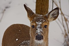 I'M VERY COLD!! (showmesavings) Tags: deer snow winter forest