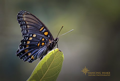 _O6A9219 Arizona Red-spotted Purple Dancing Snake Nature Photography (Dancing Snake Nature Photography) Tags: arizona nature photography dancingsnakenaturephotography insects butterflies lepidoptera maderacanyon