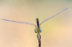 Sympetrum fonscolombii (GeoTsia) Tags: anisoptera dragonfly insect libellulidae macro odonata redveineddarter sympetrum sympetrumfonscolombii