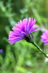 Last years flower, reborn I