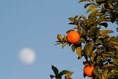 Fes, Morocco - Mandarins (Regan Gilder) Tags: morocco fes mandarins