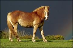Haflinger. (glemoigne) Tags: horse cheval brittany bretagne breizh pony horseriding finistère haflinger poney équitation logonna logonnadaoulas glemoigne gilbertlemoigne