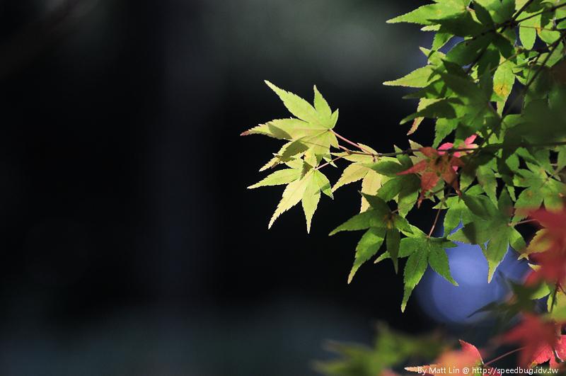 福壽山農場楓紅-13