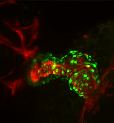 Zebrafish heart maximum intensity projection with light sheet fluorescence microscopy (ZEISS Microscopy) Tags: life light zeiss plane illumination science carl sheet fluorescence development microscopy zebrafish spim lightsheet
