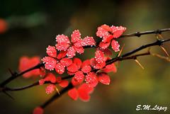 Cuando la lluvia adorna el otoo... [Explore 8/11/12] (E.M.Lpez) Tags: flores color lluvia andaluca rojo agua bokeh flor noviembre gotas otoo vegetal jan 2012 rosal espinas otoal alcallareal rosaljampons