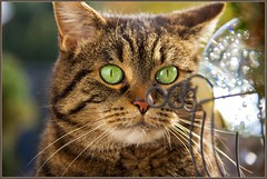 Let's ask the crystal ball (FocusPocus Photography) Tags: portrait cat feline chat tabby kitty portrt gato katze cleo fortuneteller crystalball getigert wahrsagerin tigerkatze kristallkugel
