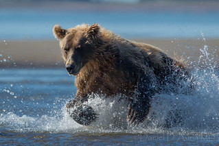 Coastal Brown Bear fishing at Cook Inlet in Alaska 4353