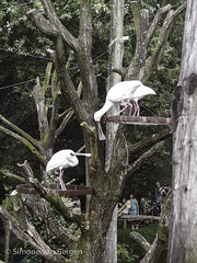"""Spoonbills passing straw • <a style=""""font-size:0.8em;"""" href=""""http://www.flickr.com/photos/44019124@N04/8174964544/"""" target=""""_blank"""">View on Flickr</a>"""