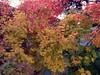 Acer Palmatum Sango Kaku y Acer Palmatum Vitifolium (amt40) Tags: autumn leave leaves garden maple momiji japanesemaple acer otoño 紅葉 deciduous acerpalmatum shrubs palmatum arce deciduousshrub irohamomiji acerpalmatumsangokaku イロハカエデ イロハモミジ arcejaponés