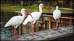Hey, Knock - Knees, wait up!!! (Chris C. Crowley) Tags: park bridge lake birds animals wildlife ibis hdr waterbirds orton chriscrowley whiteibises reedcanalpark celticsong22 southdaytonaflorida heyknockkneeswaitup