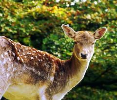 ............ (Cron@) Tags: parco deer sguardo animali bosco foresta daino orecchie