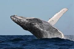Humpback (Baractus) Tags: john australia whale humpback oates
