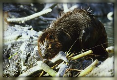 { Busy Morning Beaver } (Wolverine09J ~ 1 Million + Views) Tags: minnesota beavers amazingnature northamericanwildlife worldofanimals wildlifeshots naturesprime chariotsofnaturelevel1 naturespoetry~level1
