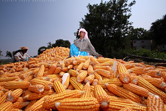 The corn worker (Cynthia Sapna) Tags: workers corn harvest worker farmer labourer harvesting cynthiasapnaphotography cornhobs