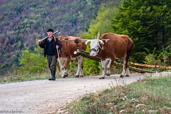 (Irene Becker) Tags: autumn fall forest landscape countryside cows serbia farming balkan zlatibor workingpeople planina taramountain taranationalpark taraplanina imagesofserbia jagoštica zvezdamountain