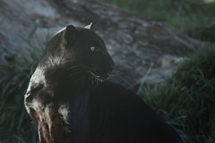 Black Panther 7 (writingfroggie) Tags: cats black cat bigcat panther bigcats blackpanther outofafrica campverde ooa kathleenreeder ariannagrainey