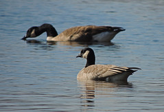 A goose for a Cratchit (Bonnie Ott) Tags: cacklinggoose canadagoose chenrossii bonniecoatesott savagequad