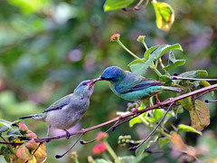 "Sa-azul - "" Dacnis cayana"" - Blue Dacnis -   091_01 (Celi Aurora) Tags: aves pssaros bluedacnis swallowtailedhummingbird saazul carangolamg celiaurora tiranideos vosplusbellesphotos famliathraupidae dacniscaiana"