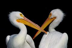 White Pelicans (TexasEagle) Tags: pelicans dallas texas whiterocklake pelecanuserythrorhynchos americanwhitepelicans beautifulworldchallenges