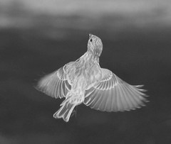 Freedom (Cindy Cupcake Photography) Tags: life camera shadow portrait blackandwhite usa bird art love nature beautiful beauty silhouette female geotagged photography fly flying photo amazing nice wings nikon friend midwest perfect flickr pretty heaven glow peace image sweet pics good quality live wildlife gorgeous tag awesome birding flight beak feathers picture feather like indiana pic tags vision finch stunning excellent iphoto neat lovely dslr capture delicate tagging epic brilliant housefinch impressive kool 2012 unbelievable iphone picoftheday captivating friendme femalehousefinch iphoneography