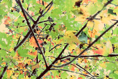 Spindel © (Blackcatatheart) Tags: autumn red orange color tree green fall leaves outdoors leaf branch pattern view outdoor patterns branches shapes twig shape twigs depth