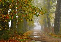 LOS OTROS CAMINOS DEL LLUVIOSO OTOÑO  ...  ( EXPLORE ) (marthinotf) Tags: nikon valladolid caminos otoño niebla castilla composición caminosdeotoño olétusfotos lluviadeotoño lacaidadelahoja nieblaenelcamino nieblasdeotoño platanerasenotoño charcosenloscaminos