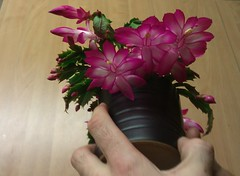 best Christmas cactus flowering of the year 2012 (Columbiantony Photography) Tags: christmas street flowers cactus plants plant flower color floral strange cacti dessert succulent big amazing colorful colours desert britain stock roots stranger collection pedro christmascactus collections stuff multiple flowering buds growing unusual bud cuttings cuts succulents boarding collecting grafted formations techniques flourish grafting hatiora schlumbergera competitions graft astonishing grafts cactodenatal zygocactus youtube weierd thanksgivingcactus weihnachtskaktus cactusdenoël joulukaktus rootstocks julekaktus holidaycacti payote cactodapáscoa natalecactus columbiantony yilbasiçiçegi julkaktusen