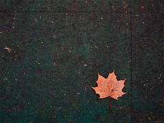 Canadian bits 1 (R A Pyke (SweRon)) Tags: canada leaf maple symbol pentax canadian k5 cosina1935mmf3545 sweron 201211204136