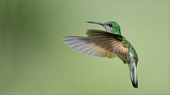 Female Stripe-tailed Hummingbird (Raymond J Barlow) Tags: nature hummingbird wildlife avian birdinflight raymondbarlowtours