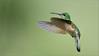 Female Stripe-tailed Hummingbird (Raymond J Barlow) Tags: nature hummingbird wildlife avian birdinflight raymondbarlowtours