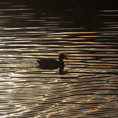 duck silhouette (diwan) Tags: city light lake reflection nature water canon germany geotagged deutschland eos see wasser place natur magdeburg crop squareformat stadt twinkling 2012 watersurface wasseroberflche saxonyanhalt sachsenanhalt funkeln rotehorn adolfmittagsee canoneos650d geo:lon=11643276 geo:lat=52118341