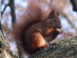 fressendes Eichhörnchen., NGIDn1993053633