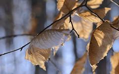 (Fransois) Tags: autumn fall leaves automne dof haiku bokeh qubec beech oka feuilles htre