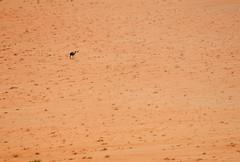 Camel scale (Danology) Tags: desert wadirum middleeast jordan camel hashemitekingdomofjordan  kingdomofjordan