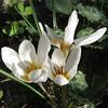 Crocus hyemalis - כרכום חורפי
