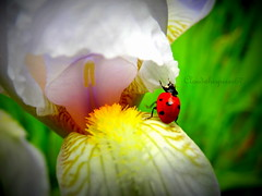 The great (but sooo tiny) escape (Cloudwhisperer67) Tags: iris white france flower color macro green art nature fleur beautiful beauty grass smiling animal yellow gardens bug garden insect rouge photography climb lomo colorful flickr gallery noir escape shot natural little bokeh shots spirit great adorable jardin award vert bugs strasbourg climbing alsace tiny ladybird ladybug but lovely incredible blanc rare wandering jardins fort insecte microcosmos photgraphy petit herbe coccinelle incroyable minuscule whisperer colouration 2013 cloudwhisperer flickraward flickraward5 flickrawardgallery blinkagain hx9v cloudwhisperer67 dambulant