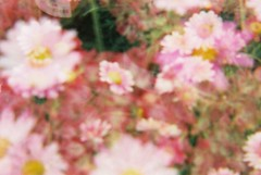 Flowers (teacup_dreams) Tags: flowers film 35mm doubleexposure diana filmfilmforever